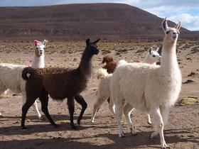 Llama-Herde in Bolivien
