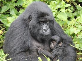 Nahaufnahme von einer Berggorilla-Mutter mit ihrem Kind in Ruanda