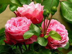 Nahaufnahme einer vollen Rosenblüte in pink